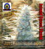 Next Generation Island Sweet Skunk Reg 5  Seeds